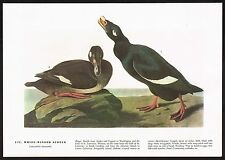 1930s Original Vintage Audubon White-Winged Scoter Bird Art Print