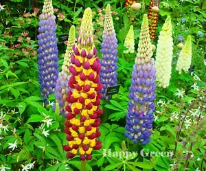 Russell Lupin MIX - Lupinus Polyphyllus - 60 seeds - PERENNIAL FLOWER - TALL