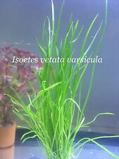 Live Aquatic Fresh Water Plant Isoetes vetata varsicula Potted P109