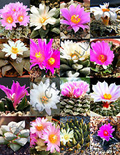 RARE ARIOCARPUS VARIETY MIX @ living rock stone plant cactus seed cacti 10 SEEDS