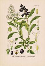 Gemeiner Hartriegel Ligustrum vulgare 1886 Lithographie Thome