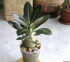 5PCs Arabicum Adenium Obesum seeds Flower Bonsai Air Purification Home Potted