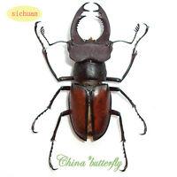 5 bettle coleopteran Scarabaeoidea Lucanidae Lucanus szetschuanicus A1 A1-
