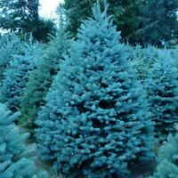 100pcs Tree Rare Evergreen Colorado Blue Spruce Seeds good for growing in pots f