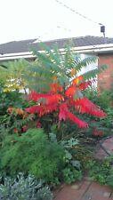 Staghorn Sumac: Rhus typhina (Brilliant autumn colour) minimum 15 seeds