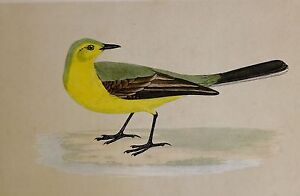 c1875 ANTIQUE PRINT ~ YELLOW WAGTAIL ~ HAND COLOURED British Birds Morris