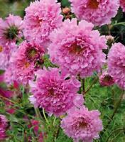 100 Pcs Double Cosmos Seeds Perennial Flower Seeds Bonsai Chrysanthemum Plant S