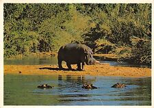 BG33777 mother hippo watching over her family south africa