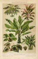 Stampa Antica 1898 = PIANTE A FOGLIA LARGA = Botanica CROMOLITOGRAFIA Old Print
