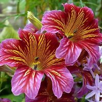 PAINTED TONGUE SEEDS SALPIGLOSSIS GARDEN POT PATIO ROCKERY FLOWER 300 SEED PACK
