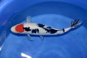 "17""  Tancho Showa FEMALE High Quality JAPANESE Koi live fish standard fin A1koi"