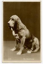 c 1930 Dog Breed Bloodhound British photo postcard