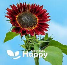 SUNFLOWER RED SUN TALL - 100 SEEDS - Helianthus annuus - ANNUAL FLOWER