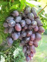 Kernlose Weintraube Romeo - Vitis vinifera Romeo