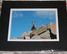 PHOTO ART MOUNTAIN GOAT MT EVANS CO 5X7 MATTED TO 8X10 SIGNED #'D 15/75