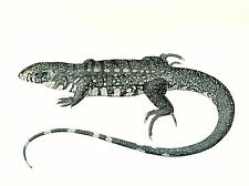 "1977 VINTAGE LAROUSSE ""TEGU"" GIANT LIZARD AWESOME COLOR Art Print Lithograph"