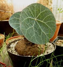 Stephania kaweesakii,Caudex,Euphorbia,Bulb