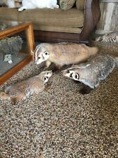 Badger Family 3 Piece Taxidermy Full Mounts