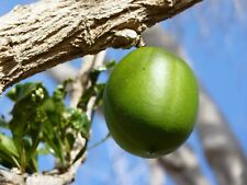 Calabash Tree   Crescentia cujete   10 Seeds   (Free US Shipping)