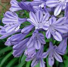 "Stunning and Striking Mature African Sky"" Agapanthus Plant For Sale in Planter"