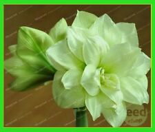 4 Bulbs - Amaryllis Bulbs,True Hippeastrum Bulbs Flowers (Not Hippeastrum seeds)