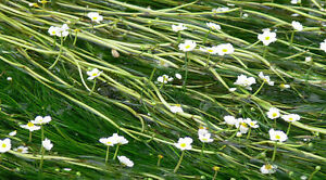 1 - 50 Bunch / Oxygenating Pond Water Plants - Ranunculus aquatilis