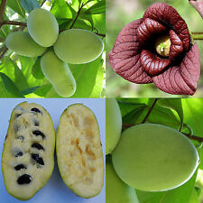 Asimina triloba, common paw paw, pawpaw, indiana banana (NOT PAPAIA) - 4 seeds