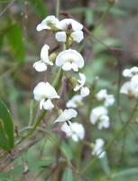 White Flower Native Sarsaparilla Seed Frost & Drought Tolerant Evergreen