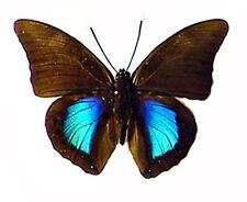 Prepona chromus chromus (m) - Peru, South America