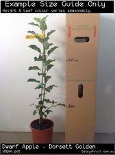 Dwarf Apple - Dorsett Golden (Malus domestica) Fruit Tree Plant