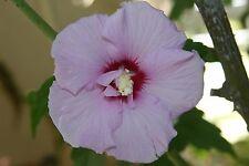 Double Rose-of-Sharon ~Lavender~ (1) Stem Branch/Cutting, Bush/Shrub/Tree