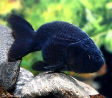3 Black Ranchu Goldfish (Small size) Live Fish 2 Day Fedex Shipping