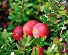 40 Samen Cranberry (Vaccinium macrocarpon), essbare B., Großfrüchtige Moosbeere