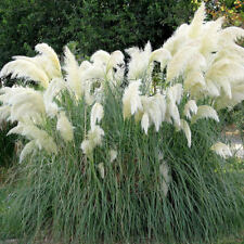 PAMPAS GRASS - WHITE FEATHER - Cortaderia selloana - PERENNIAL SEEDS