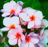Plumeria Seeds/Flowers/ Fragrant Berry /Fresh 30 seeds!!