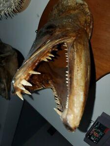 Rare Real Toothy Barracuda taxidermy fish Head mount skull/Shark/Jaw. Will Trade