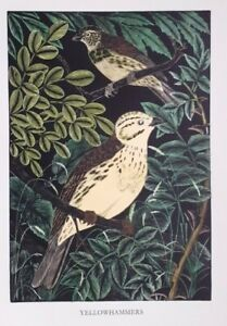 YELLOWHAMMER : Old 1948 Hand-coloured Bird, Birds Woodcut / Etching By DAGLISH