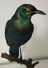 Taxidermie Oiseau Naturalise CHOUCADOR à oreillons bleus Cabinet De Curiosité