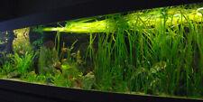 11x  Vallisneria spiralis  Aquariumpflanzen für den Hintergrund, Algenkiller
