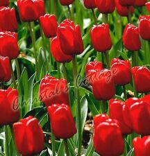 8 TULIPS RED REVIVAL AUTUMN GARDENING GROWING SPRING FLOWER BULB CORM PERENNIAL