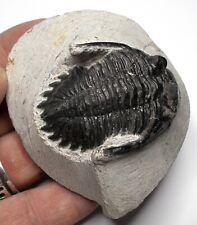 More details for fossil trilobite hollardops devonian age morocco fossils trilobites ref ws5.hl3