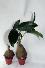 Hydnophytum SIMPLEX formiche pianta terrario epiphyt CAUDEX