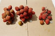 lychee sweet cliffe fruit tree plant 1x12cm tall (Litchi chinensis)