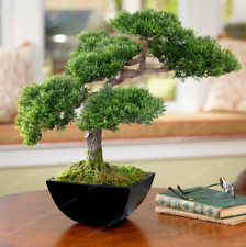 Japanese Mini Ornamental Pine Plants Osaka Bonsai 50 PCS Seeds Pine Tree Garden