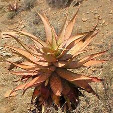 Aloe khamiesensis exotic succulent rare cactus seed garden plant agave 30 Seeds