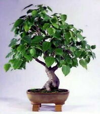 Sacred Buddha Fig Tree 10 Seeds - Ficus religiosa