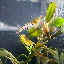 New listing 6 + 1 Super Tiger Caridina Live Shrimp