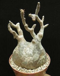 Pachypodium gracilius,Caudex,Euphorbia,Bulb