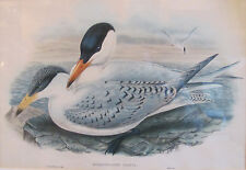 John Gould Lithograph 'Hydroprogne Caspia' from the Birds of Great Britain