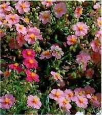6 Rock Rose (Helianthemum) MEDIUM PLUG PLANTS - Hardy P.